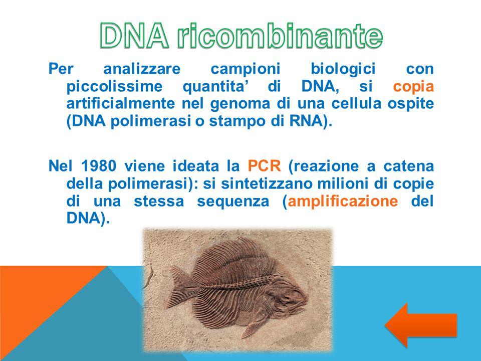 Per analizzare campioni biologici con piccolissime quantita' di DNA, si copia artificialmente nel genoma di una cellula ospite (DNA polimerasi o stamp