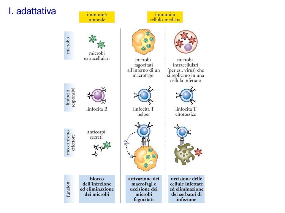 I linfociti sono responsabili delle risposte immunitarie adattative