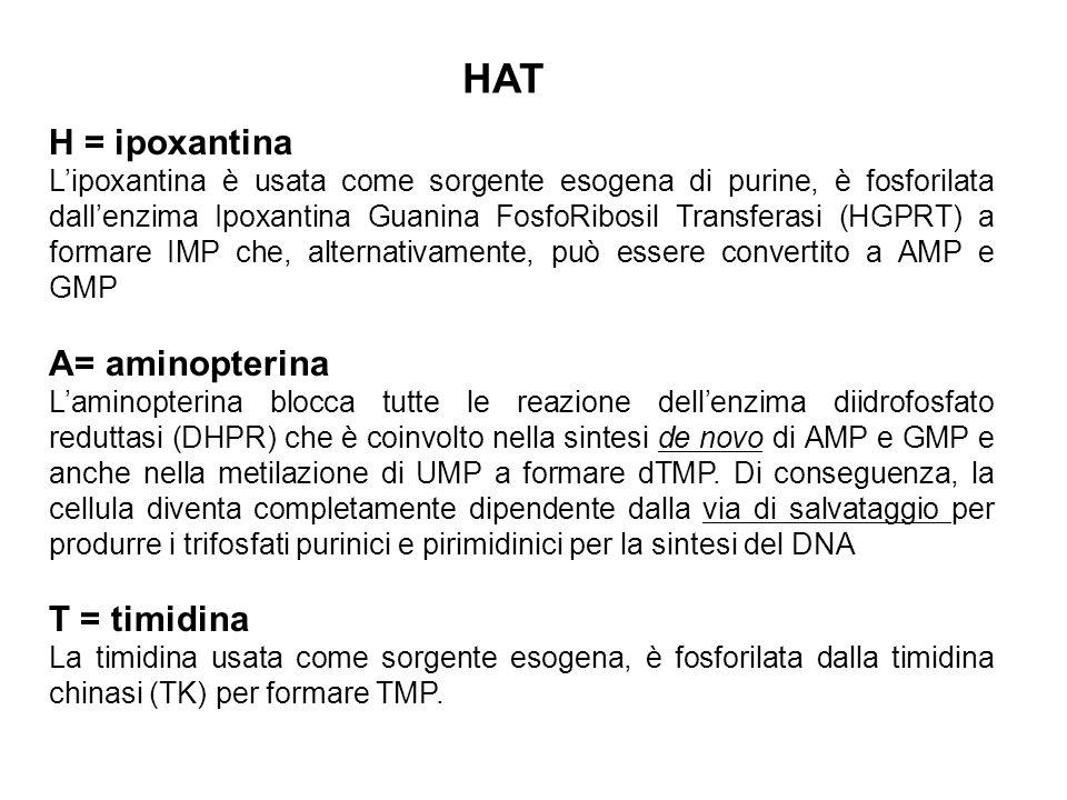 HAT H = ipoxantina L'ipoxantina è usata come sorgente esogena di purine, è fosforilata dall'enzima Ipoxantina Guanina FosfoRibosil Transferasi (HGPRT)