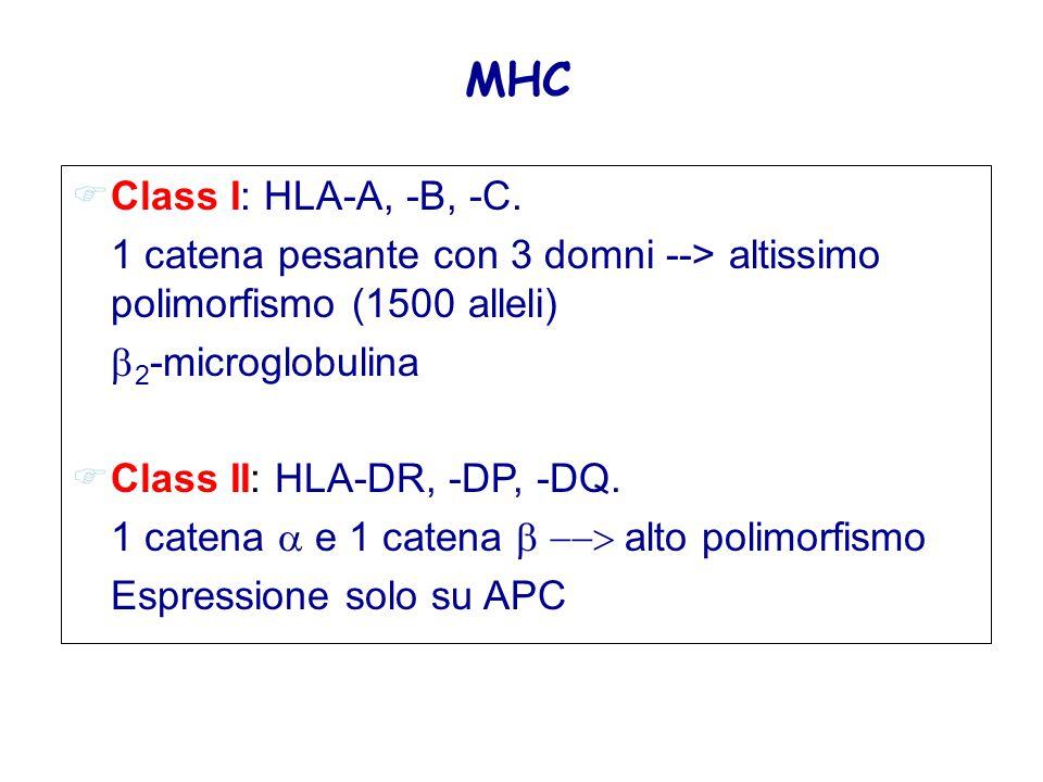 FClass I: HLA-A, -B, -C. 1 catena pesante con 3 domni --> altissimo polimorfismo (1500 alleli)  2 -microglobulina FClass II: HLA-DR, -DP, -DQ. 1 cate