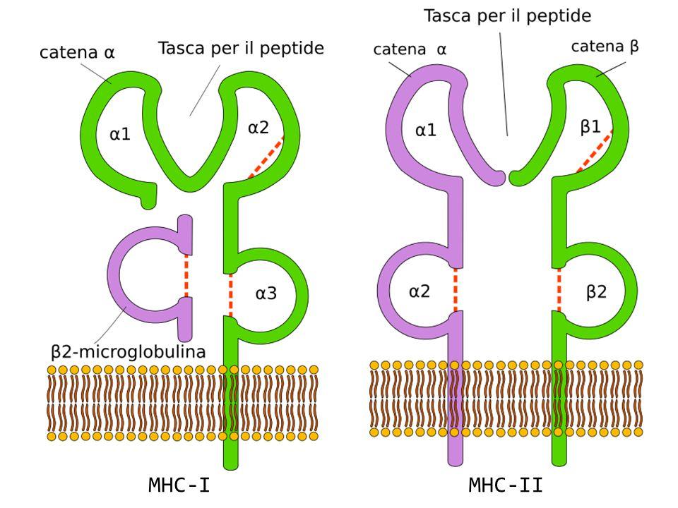 MHC-IMHC-II