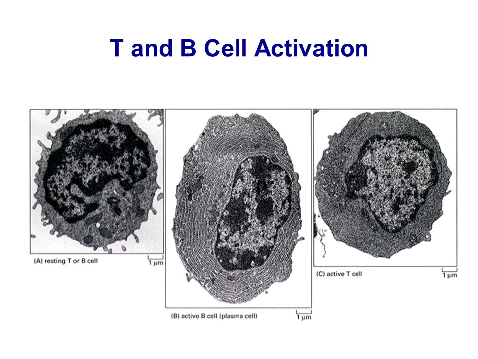 T and B Cell Activation