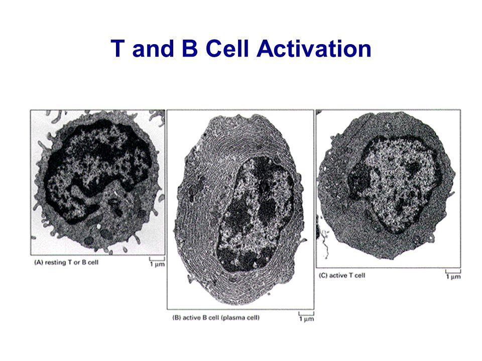 From Janeway – Travers, Immuno Biologia, Piccin