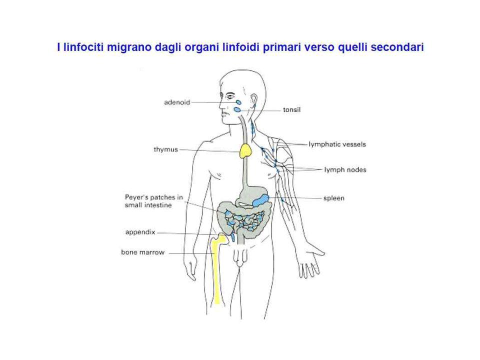 Immunizzazioni ripetute: 1)Prima in CFA; successsive in IFA 2)Aumento titolo anticorpi 3)Aumento affinità (ipermutazione somatica) 4)Switch di classe