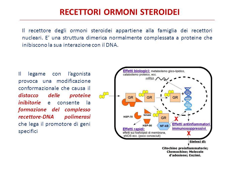 RECETTORI ORMONI STEROIDEI Il recettore degli ormoni steroidei appartiene alla famiglia dei recettori nucleari. E' una struttura dimerica normalmente