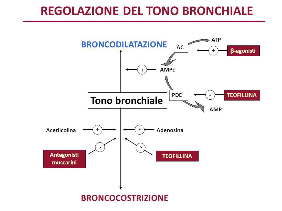 AC ATP AMPc PDE AMP β -agonisti + TEOFILLINA - Tono bronchiale BRONCODILATAZIONE BRONCOCOSTRIZIONE Acetilcolina + Adenosina + - - Antagonisti muscarin
