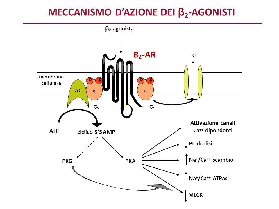 ATP ciclico 3'5'AMP Attivazione canali Ca ++ dipendenti PI idrolisi MLCK Na + /Ca ++ scambio Na + /Ca ++ ATPasi PKAPKG AC K+K+ β 2 -agonista B 2 -AR m