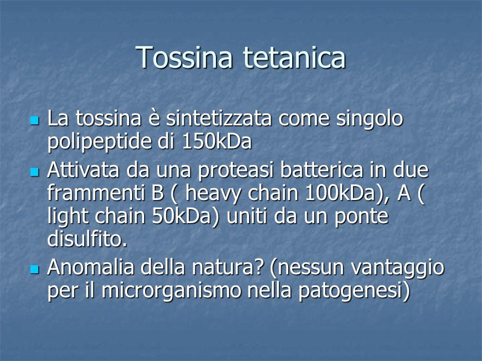 Tossina tetanica La tossina è sintetizzata come singolo polipeptide di 150kDa La tossina è sintetizzata come singolo polipeptide di 150kDa Attivata da