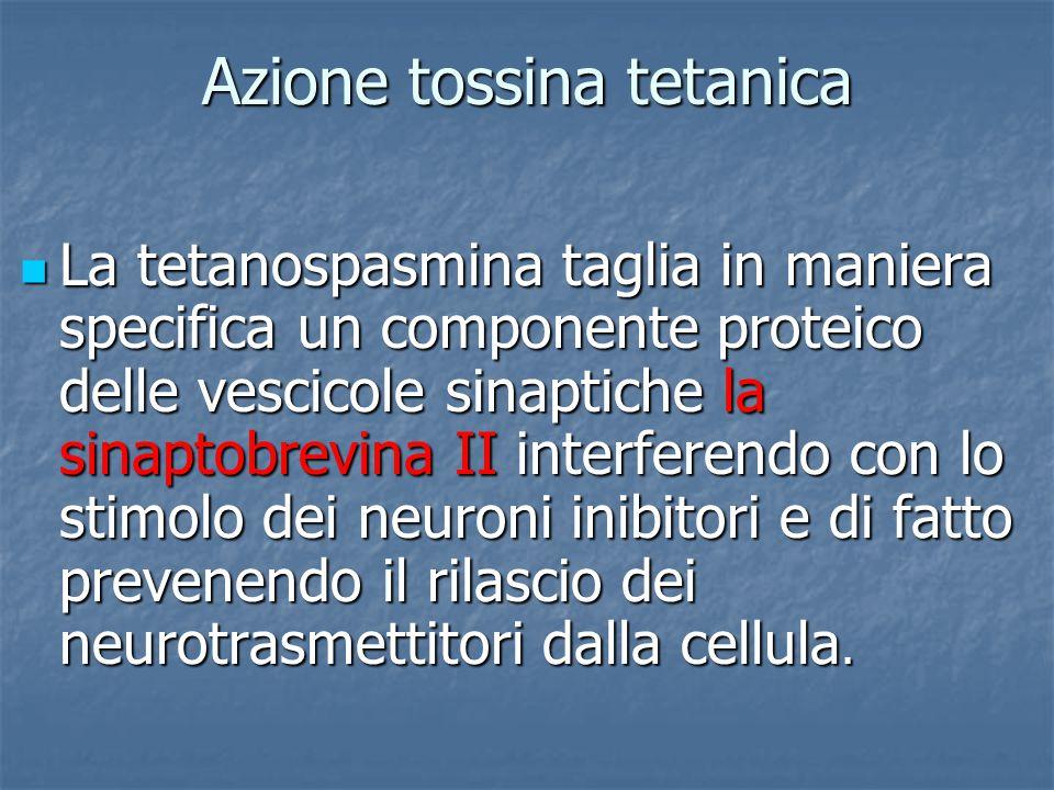 Azione tossina tetanica La tetanospasmina taglia in maniera specifica un componente proteico delle vescicole sinaptiche la sinaptobrevina II interfere