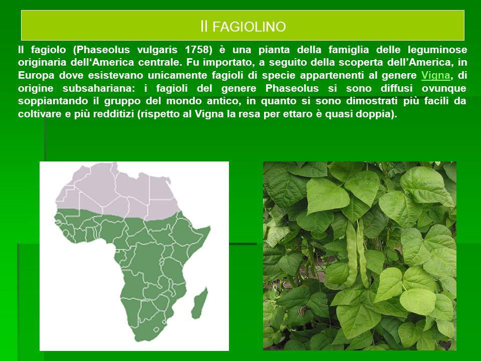 Il fagiolo (Phaseolus vulgaris 1758) è una pianta della famiglia delle leguminose originaria dell'America centrale. Fu importato, a seguito della scop