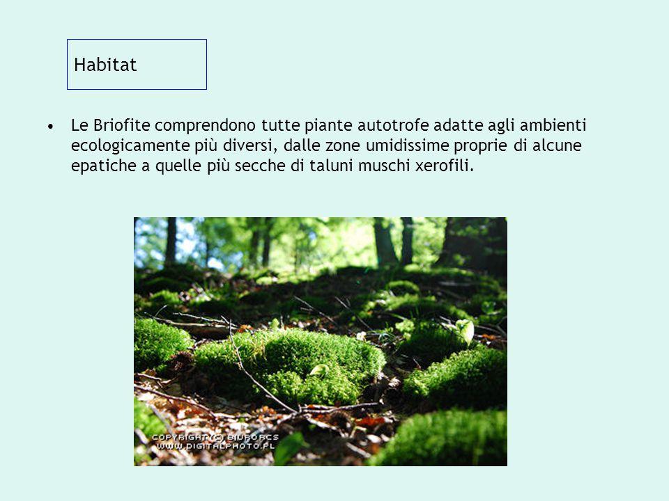 Habitat Le Briofite comprendono tutte piante autotrofe adatte agli ambienti ecologicamente più diversi, dalle zone umidissime proprie di alcune epatic