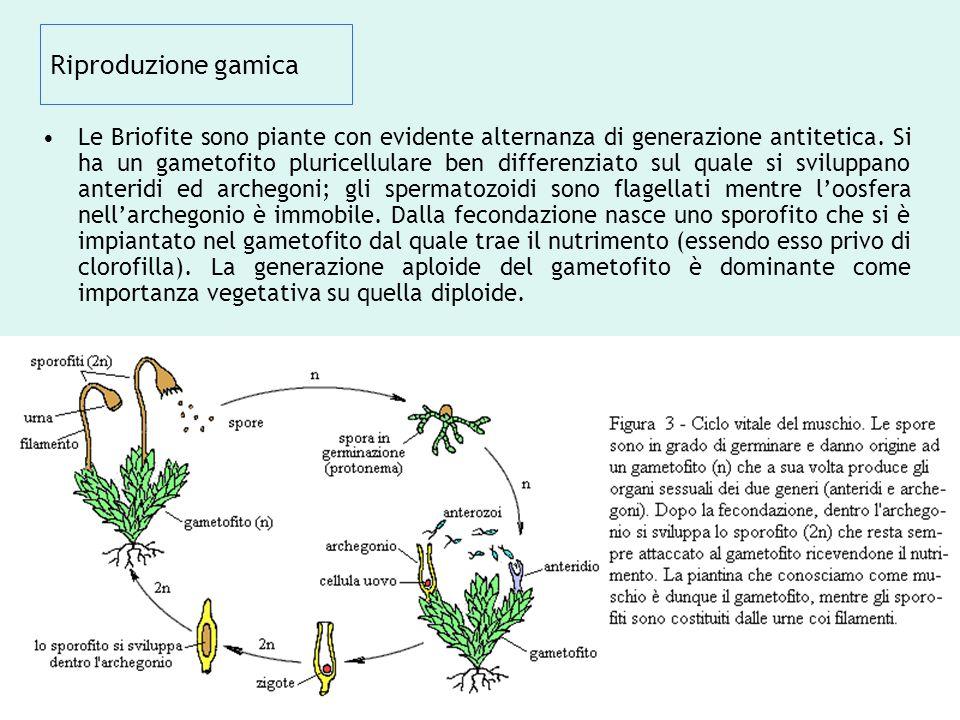 Riproduzione gamica Le Briofite sono piante con evidente alternanza di generazione antitetica. Si ha un gametofito pluricellulare ben differenziato su
