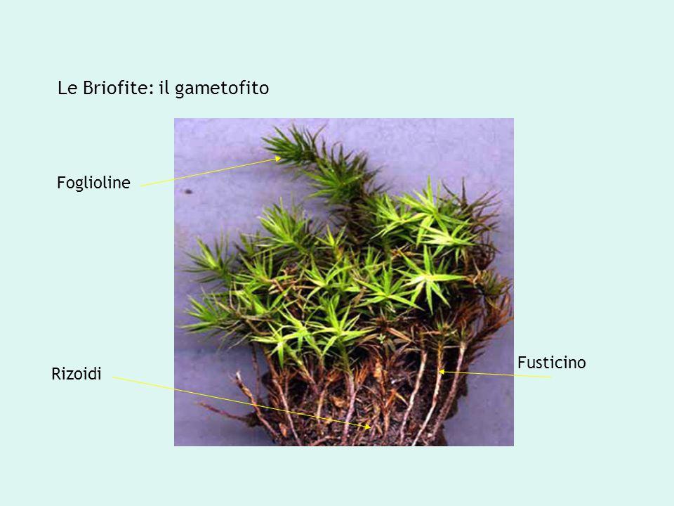 Le Briofite: il gametofito Foglioline Rizoidi Fusticino
