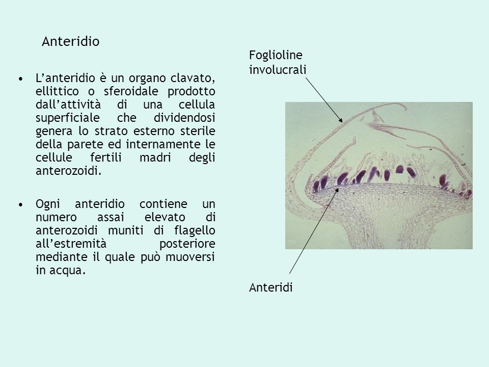 Anteridio L'anteridio è un organo clavato, ellittico o sferoidale prodotto dall'attività di una cellula superficiale che dividendosi genera lo strato