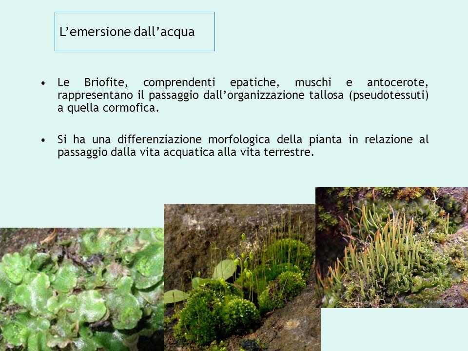 L'emersione dall'acqua Le Briofite, comprendenti epatiche, muschi e antocerote, rappresentano il passaggio dall'organizzazione tallosa (pseudotessuti)