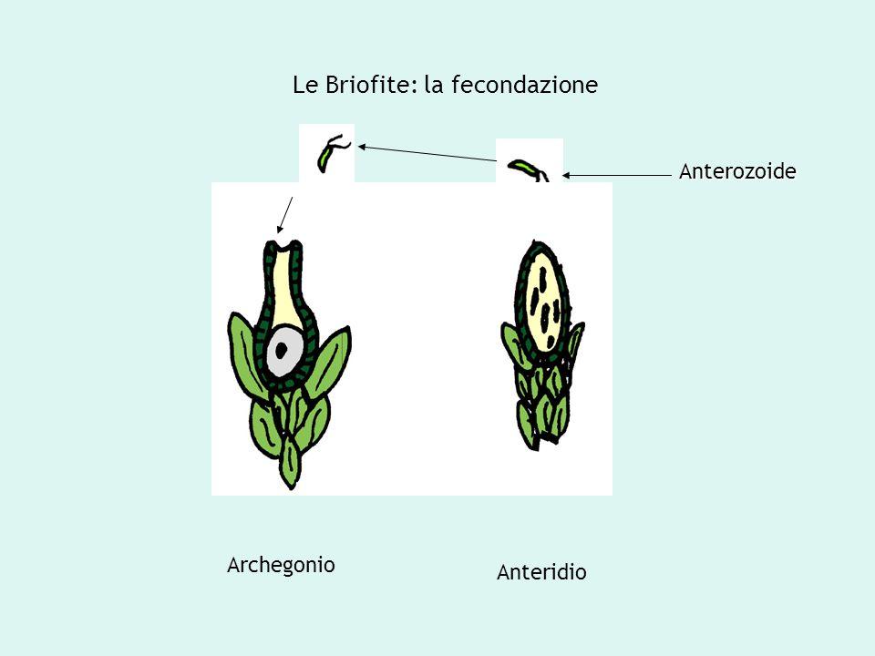 Le Briofite: la fecondazione Archegonio Anteridio Anterozoide