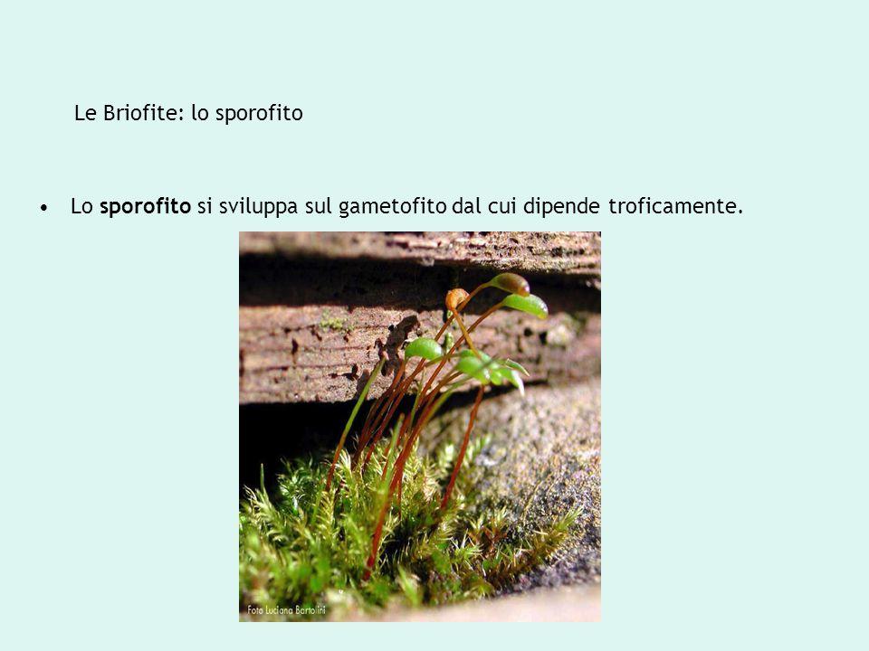 Le Briofite: lo sporofito Lo sporofito si sviluppa sul gametofito dal cui dipende troficamente.