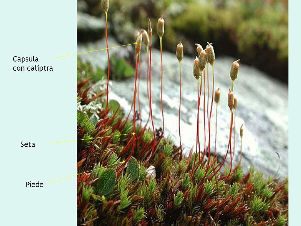 Le Briofite: lo sporofito Capsula con caliptra Seta Piede