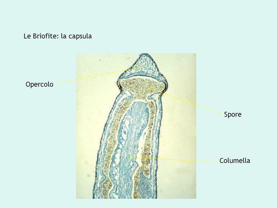 Opercolo Spore Columella