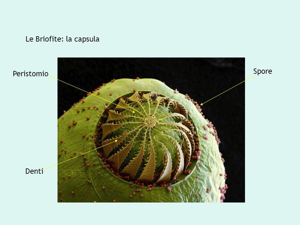 Le Briofite: la capsula Peristomio Denti Spore