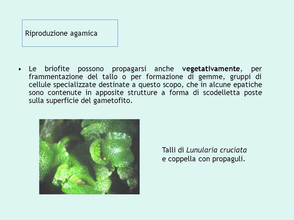 Riproduzione agamica Le briofite possono propagarsi anche vegetativamente, per frammentazione del tallo o per formazione di gemme, gruppi di cellule s
