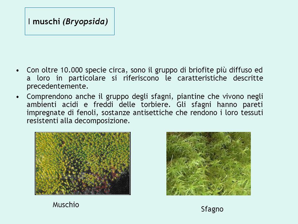 I muschi (Bryopsida) Con oltre 10.000 specie circa, sono il gruppo di briofite più diffuso ed a loro in particolare si riferiscono le caratteristiche