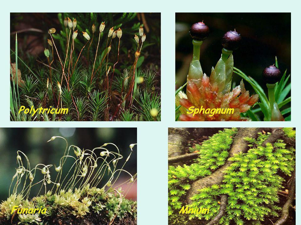 Polytricum Funaria Sphagnum Mnium
