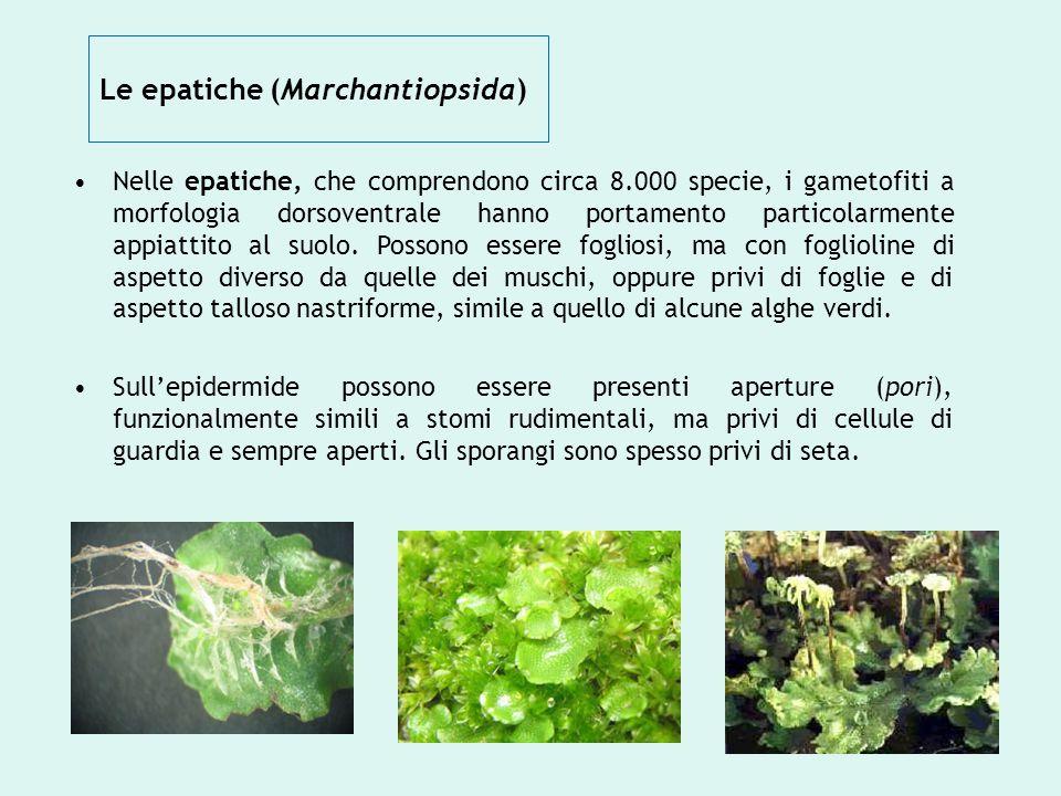 Le epatiche (Marchantiopsida) Nelle epatiche, che comprendono circa 8.000 specie, i gametofiti a morfologia dorsoventrale hanno portamento particolarm