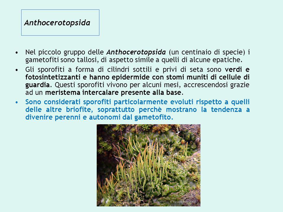 Anthocerotopsida Nel piccolo gruppo delle Anthocerotopsida (un centinaio di specie) i gametofiti sono tallosi, di aspetto simile a quelli di alcune ep