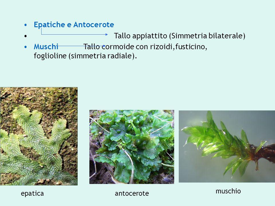 Epatiche e Antocerote Tallo appiattito (Simmetria bilaterale) Muschi Tallo cormoide con rizoidi,fusticino, foglioline (simmetria radiale). epaticaanto