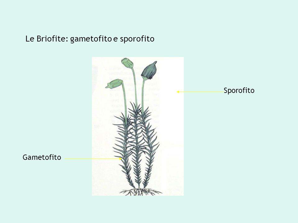 Le Briofite: gametofito e sporofito Gametofito Sporofito