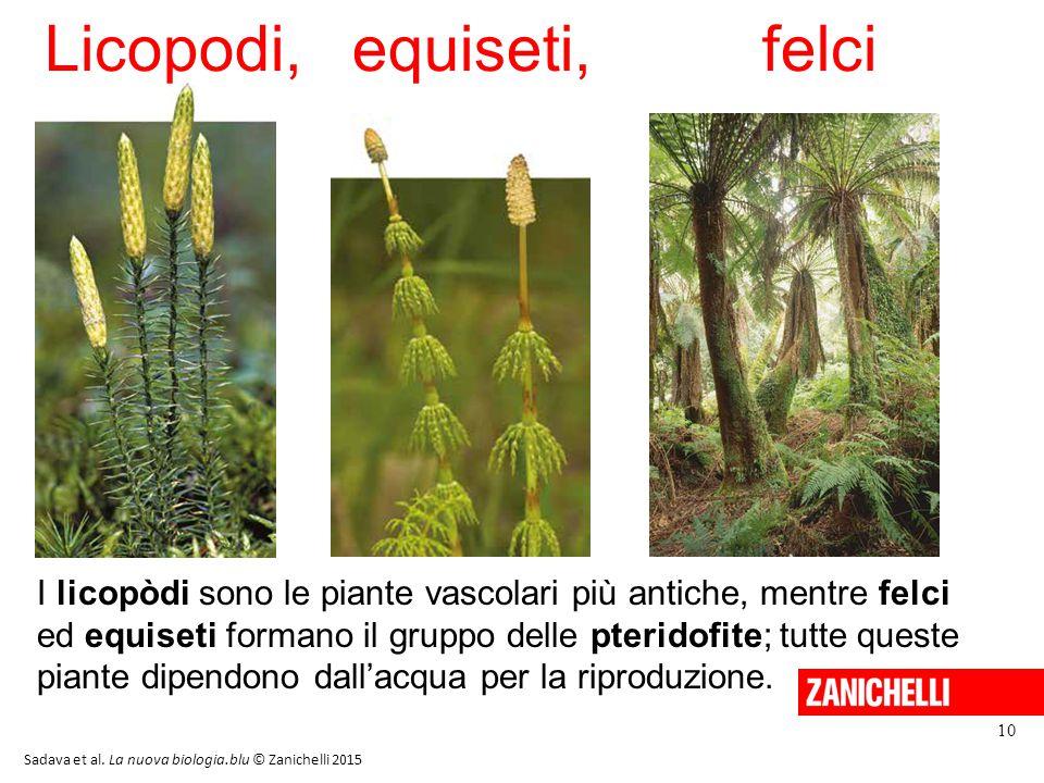 Licopodi,equiseti,felci 10 Sadava et al. La nuova biologia.blu © Zanichelli 2015 I licopòdi sono le piante vascolari più antiche, mentre felci ed equi