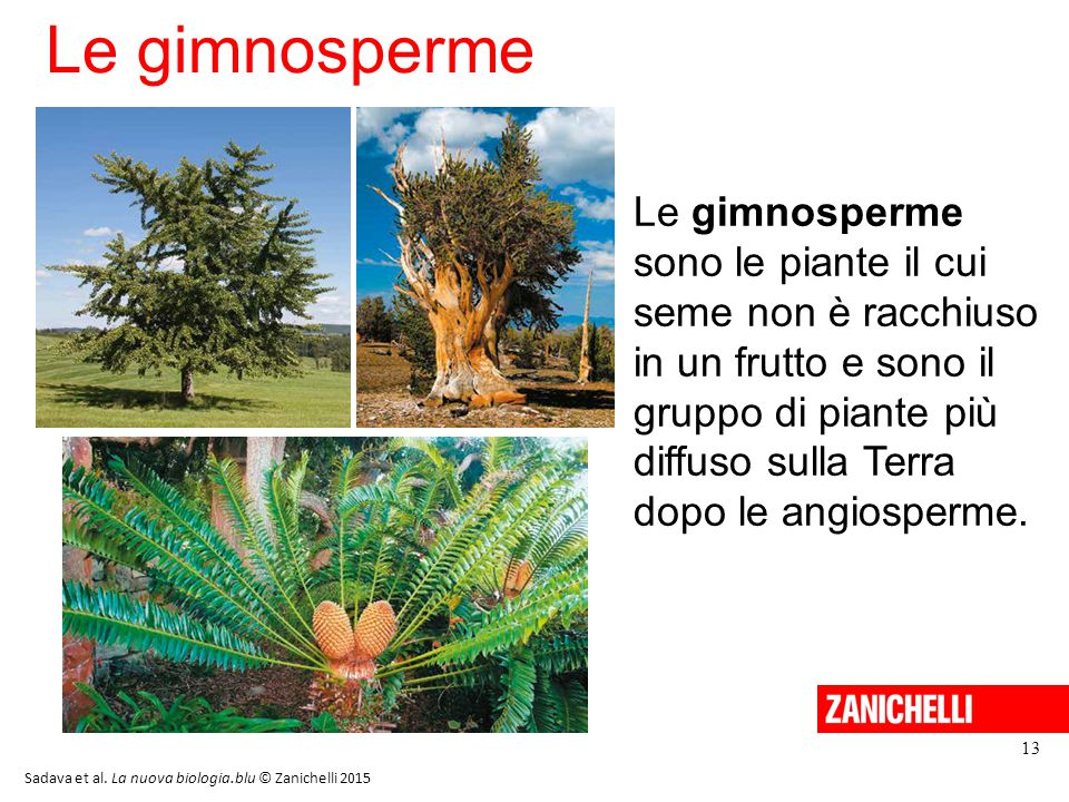 Le gimnosperme 13 Le gimnosperme sono le piante il cui seme non è racchiuso in un frutto e sono il gruppo di piante più diffuso sulla Terra dopo le angiosperme.