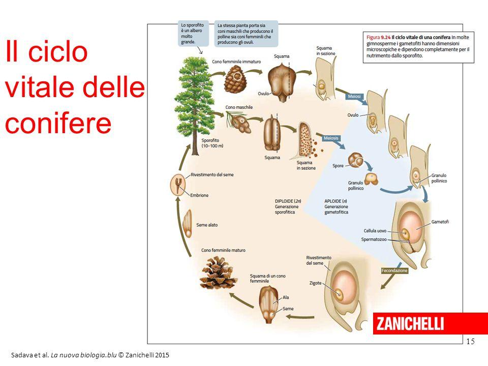 15 Il ciclo vitale delle conifere Sadava et al. La nuova biologia.blu © Zanichelli 2015