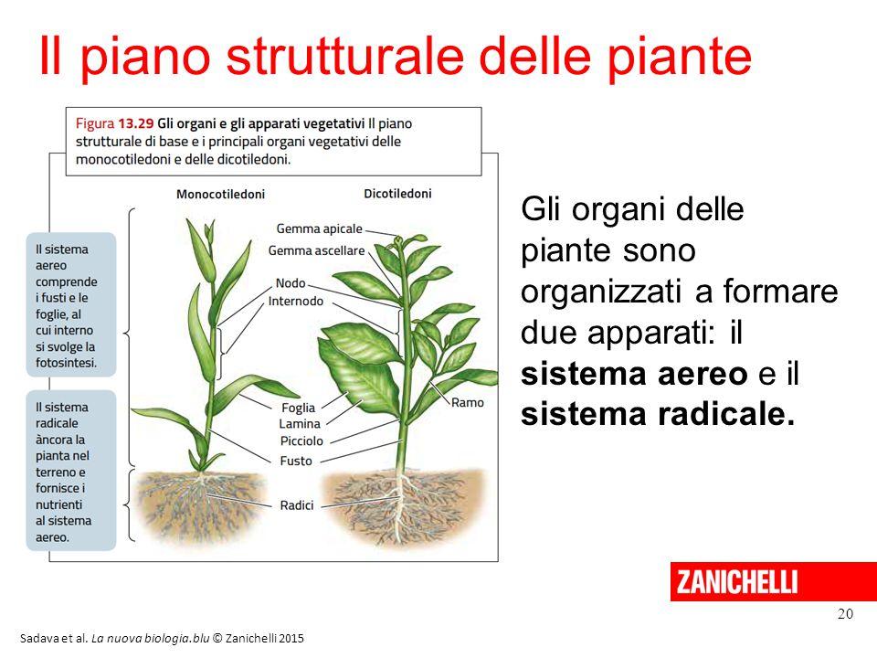 Il piano strutturale delle piante 20 Sadava et al. La nuova biologia.blu © Zanichelli 2015 Gli organi delle piante sono organizzati a formare due appa
