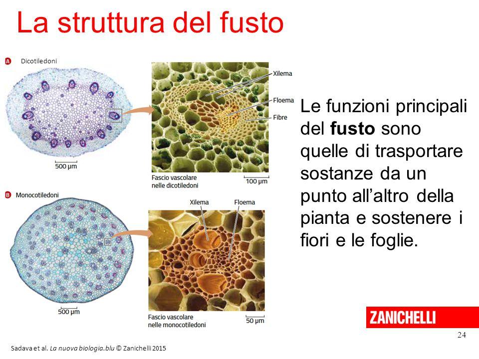 La struttura del fusto 24 Sadava et al. La nuova biologia.blu © Zanichelli 2015 Le funzioni principali del fusto sono quelle di trasportare sostanze d