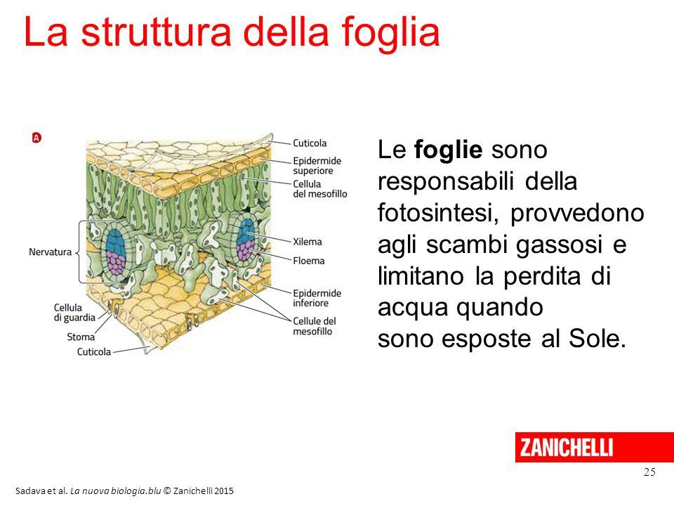 La struttura della foglia 25 Sadava et al. La nuova biologia.blu © Zanichelli 2015 Le foglie sono responsabili della fotosintesi, provvedono agli scam