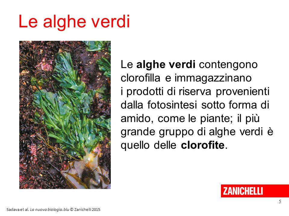 Le alghe verdi 5 Le alghe verdi contengono clorofilla e immagazzinano i prodotti di riserva provenienti dalla fotosintesi sotto forma di amido, come le piante; il più grande gruppo di alghe verdi è quello delle clorofite.