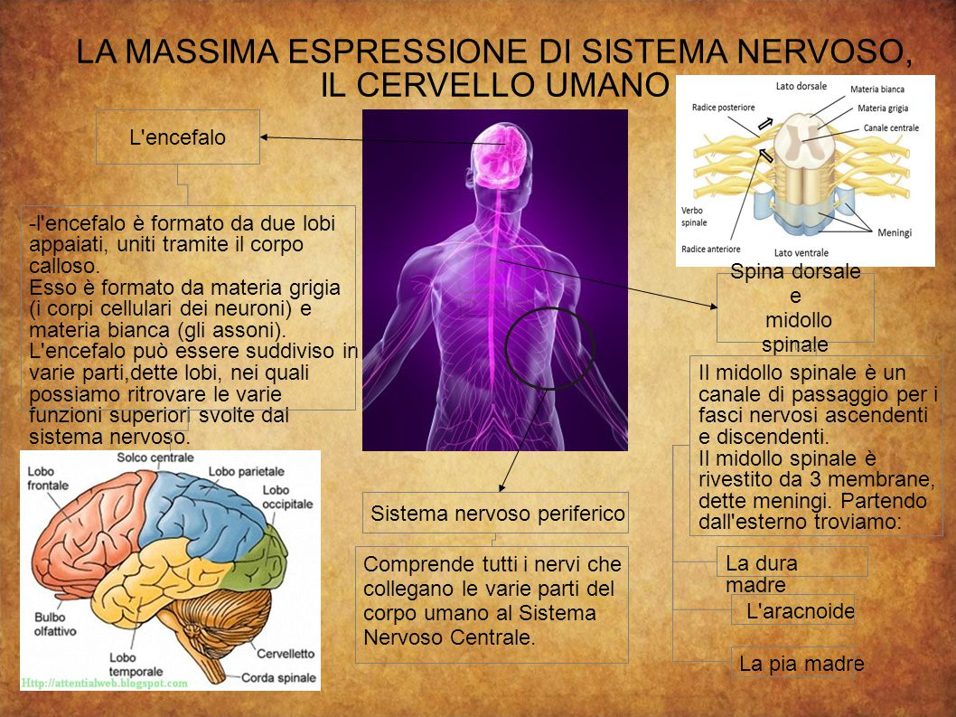 LA MASSIMA ESPRESSIONE DI SISTEMA NERVOSO, IL CERVELLO UMANO L encefalo Spina dorsale e midollo spinale Sistema nervoso periferico -l encefalo è formato da due lobi appaiati, uniti tramite il corpo calloso.