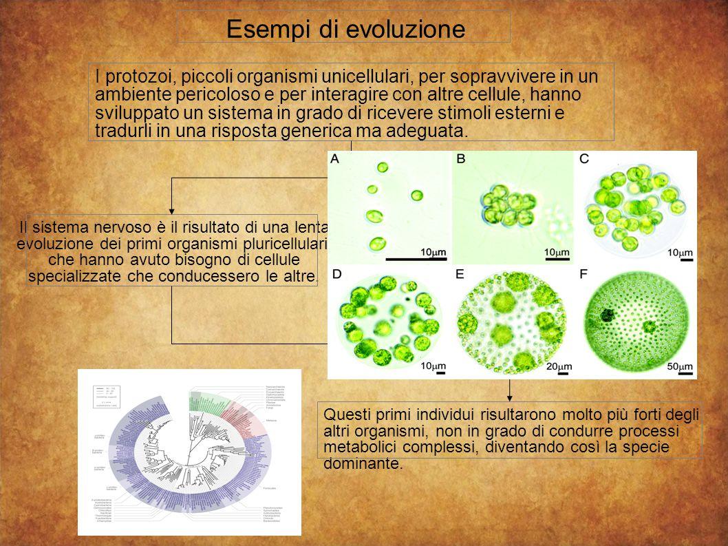 Esempi di evoluzione Il sistema nervoso è il risultato di una lenta evoluzione dei primi organismi pluricellulari, che hanno avuto bisogno di cellule specializzate che conducessero le altre.