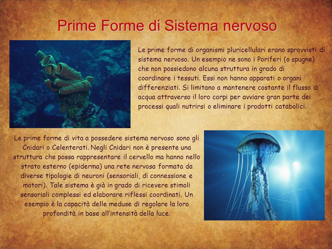 Prime Forme di Sistema nervoso Le prime forme di organismi pluricellulari erano sprovvisti di sistema nervoso. Un esempio ne sono i Poriferi (o spugne