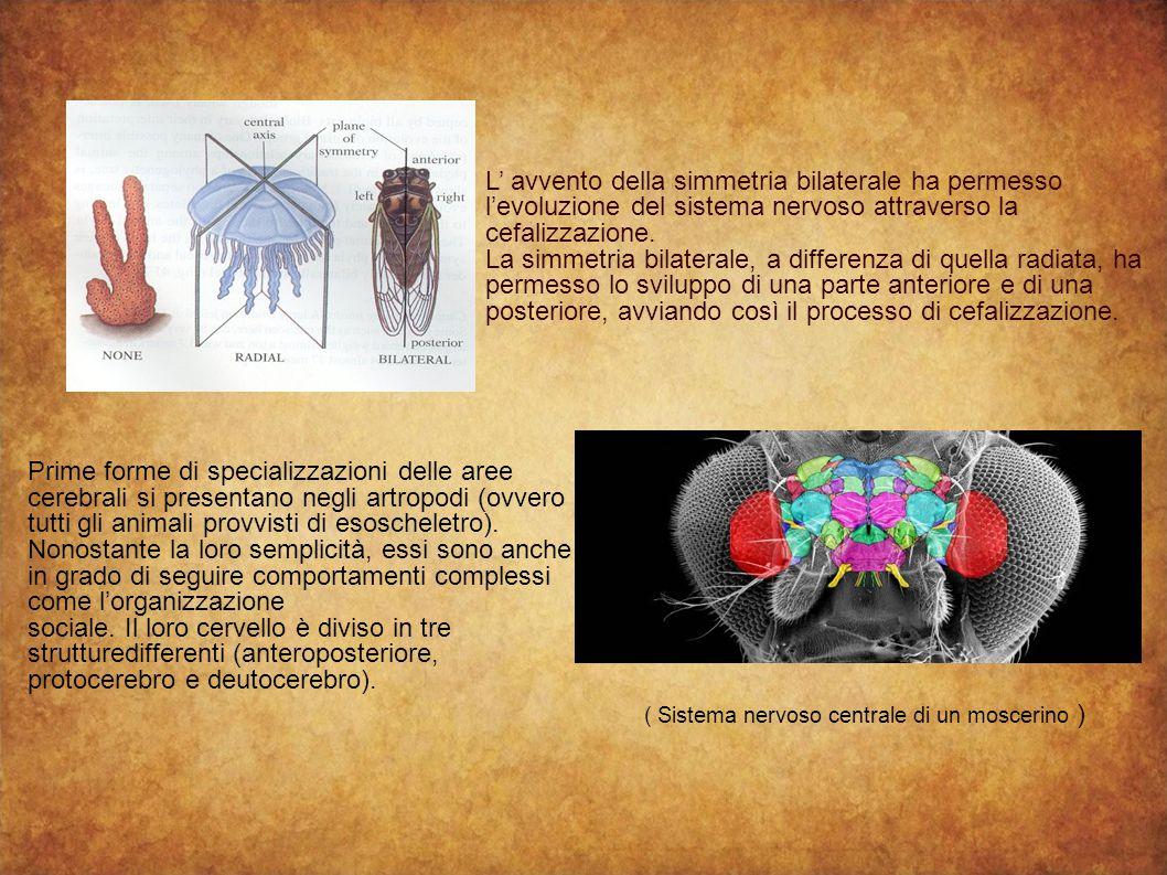 L' avvento della simmetria bilaterale ha permesso l'evoluzione del sistema nervoso attraverso la cefalizzazione. La simmetria bilaterale, a differenza