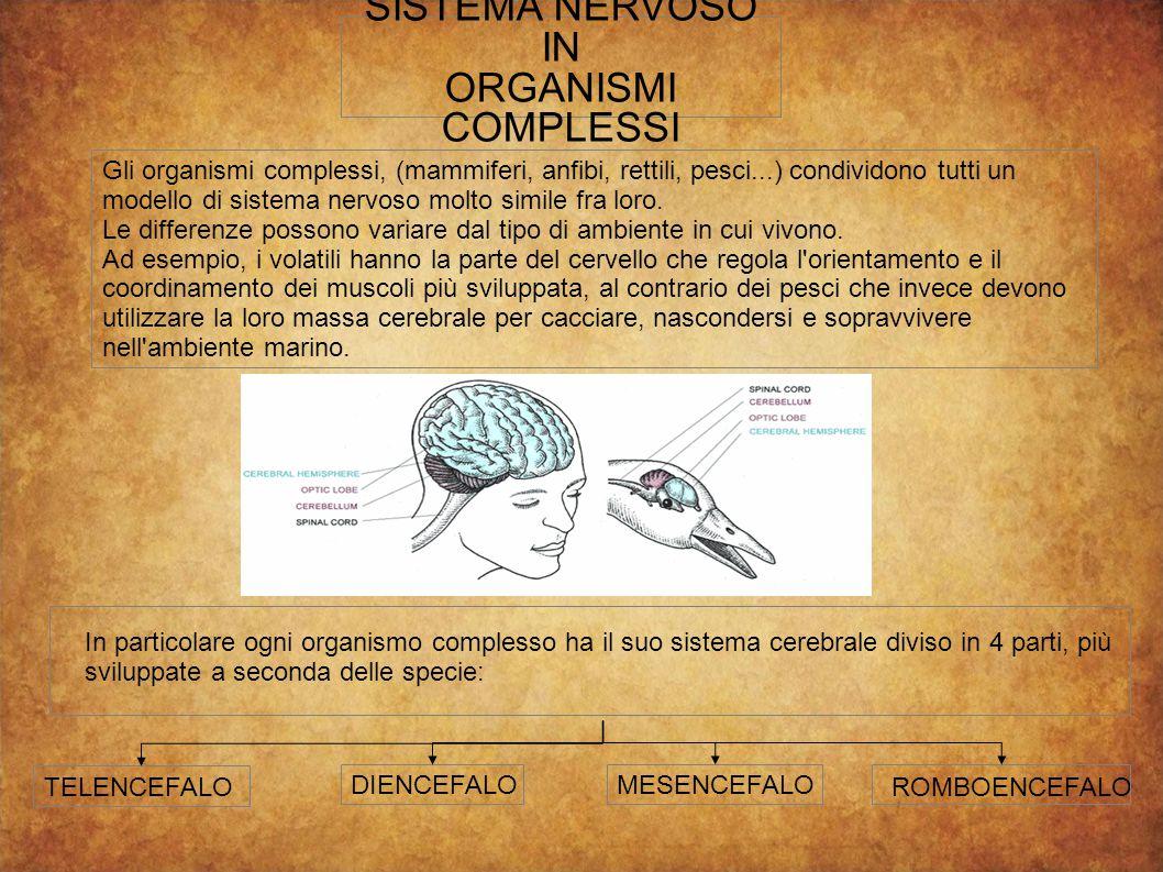 SISTEMA NERVOSO IN ORGANISMI COMPLESSI Gli organismi complessi, (mammiferi, anfibi, rettili, pesci...) condividono tutti un modello di sistema nervoso