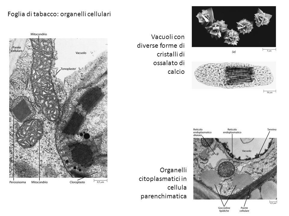 Foglia di tabacco: organelli cellulari Vacuoli con diverse forme di cristalli di ossalato di calcio Organelli citoplasmatici in cellula parenchimatica