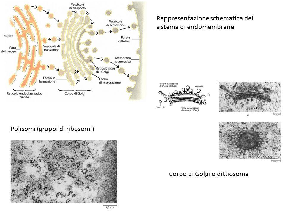 Rappresentazione schematica del sistema di endomembrane Polisomi (gruppi di ribosomi) Corpo di Golgi o dittiosoma