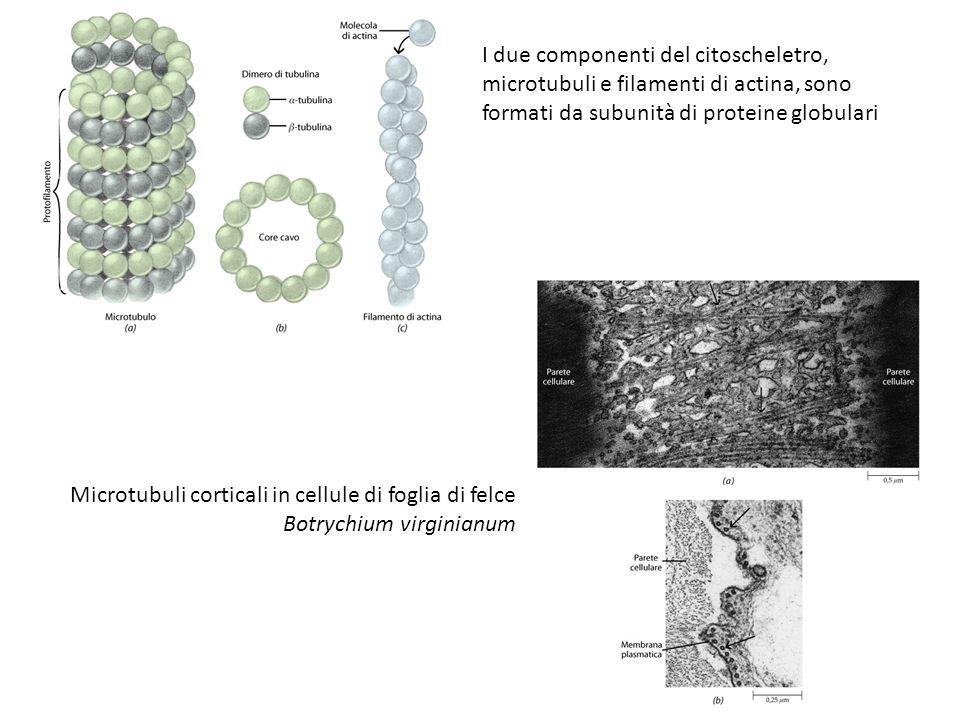 I due componenti del citoscheletro, microtubuli e filamenti di actina, sono formati da subunità di proteine globulari Microtubuli corticali in cellule