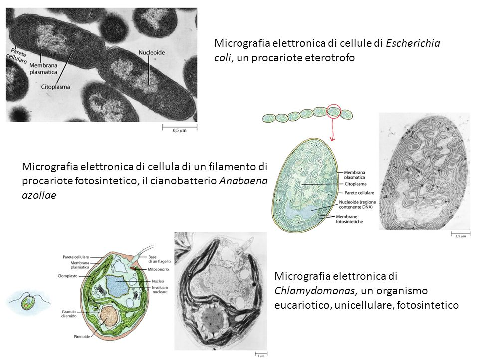 Micrografia elettronica di cellule di Escherichia coli, un procariote eterotrofo Micrografia elettronica di cellula di un filamento di procariote foto