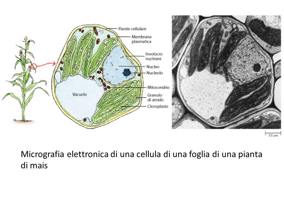 Schema tridimensionale di una cellula vegetale contenente cloroplasti