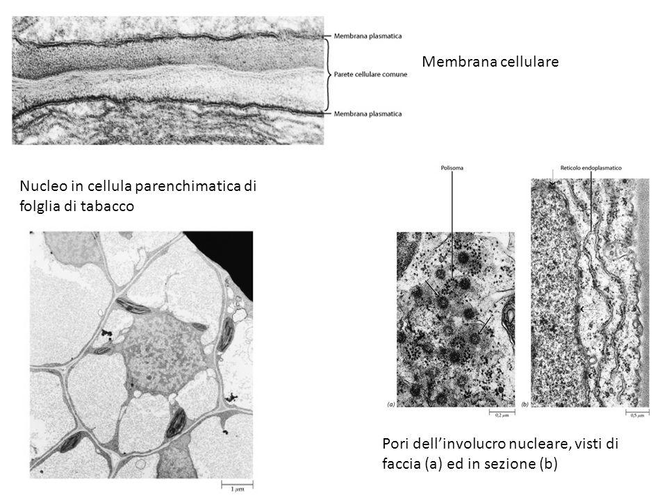 Membrana cellulare Pori dell'involucro nucleare, visti di faccia (a) ed in sezione (b) Nucleo in cellula parenchimatica di folglia di tabacco