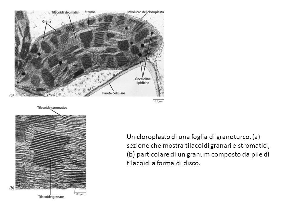 Un cloroplasto di una foglia di granoturco. (a) sezione che mostra tilacoidi granari e stromatici, (b) particolare di un granum composto da pile di ti